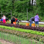 Volunteers working in a row of lettuce at the farm.