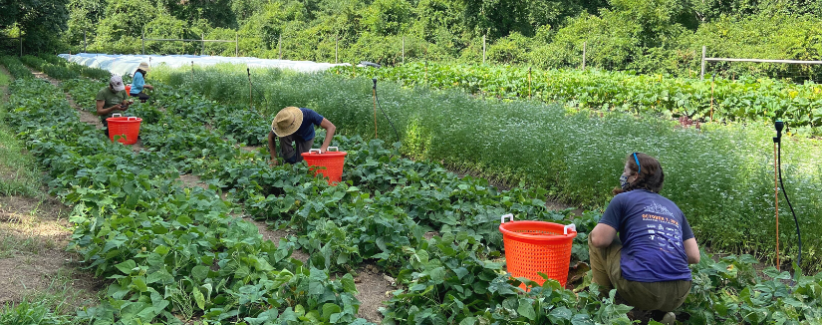 Image shows farmers harvesting in a field of greens.