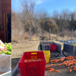Images of Anna packing up greens and washing winter carrots.