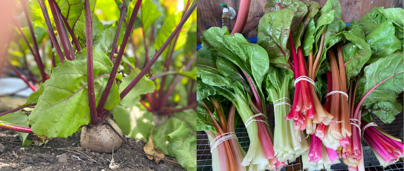Images showing beets growing in the ground and harvested Swiss chard bundles.