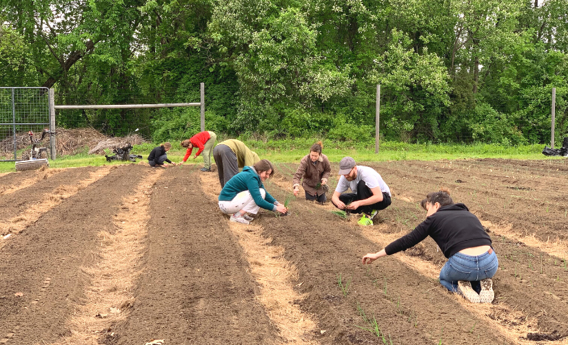 Volunteers thinning onions at the farm.