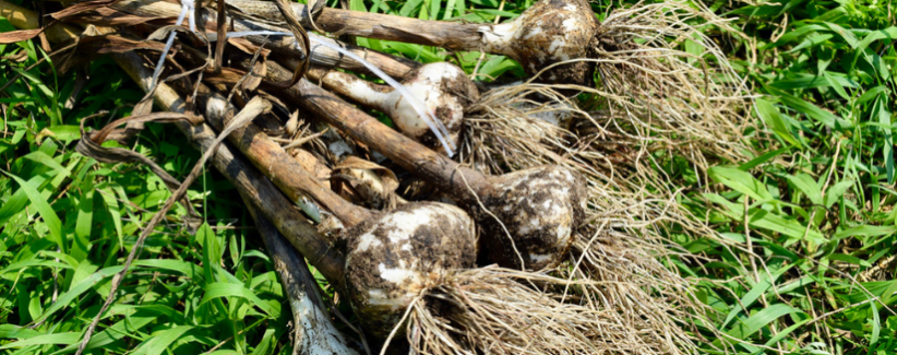 Image of a bundle of garlic lying in the grass