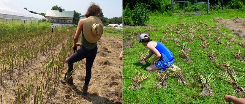Image of Anna harvesting garlic and of volunteers setting out bundles to dry in the grass