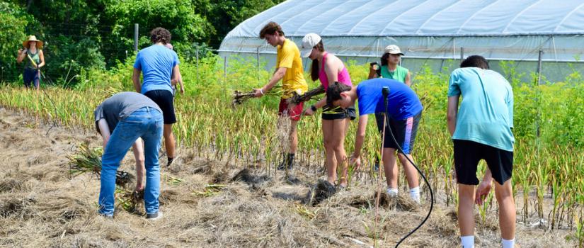 Image of high school farm team volunteers harvesting garlic