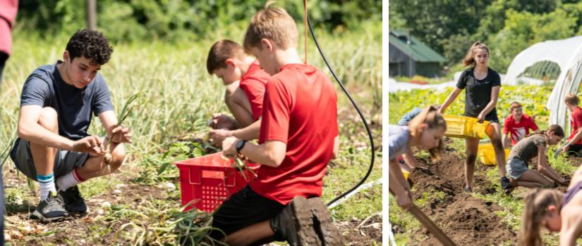 The high school farm team harvesting onions and potatoes.