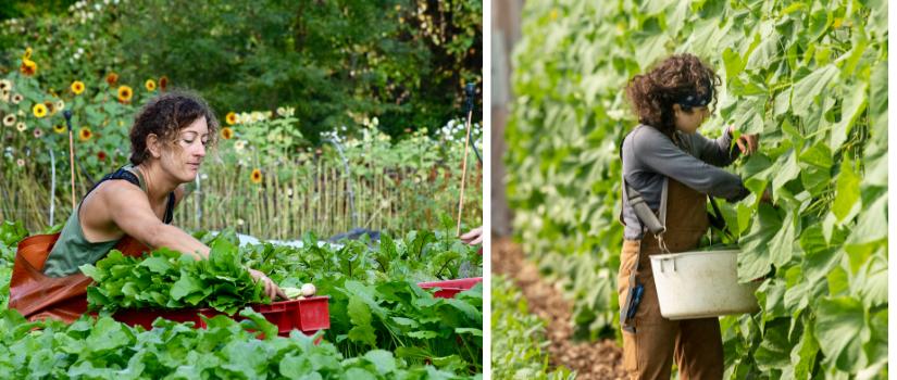 Anna harvests turnips. Ava harvests cucumbers.