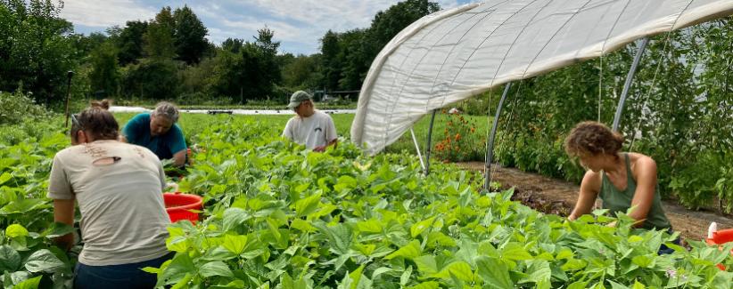 The farmers harvesting green beans.